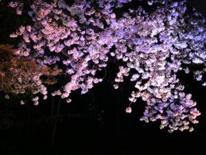 八芳園白鳳館の桜