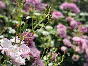 横浜イングリッシュガーデンの薔薇園